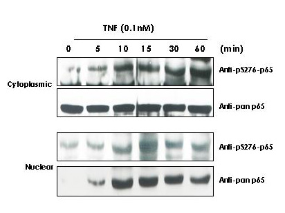RELA / NFKB p65 Antibody - Western Blot - Anti-NFKB p65 (Rel A) pS276 Antibody. TNF Induces phosphorylation of p65 in KBM-5 cells. Cytoplasmic and nuclear protein lysates prepared after 0, 5, 10, 15, 30 and 60 minutes of 0.1 nM TNF treatment of KBM-5 cells shows inducible phosphorylation using phospho specific polyclonal anti-human pS276 p65. pan reactive anti-p65 (code# LS-B653) was used a control to show the presence of total p65 in both the cytoplasmic and nuclear extracts. Phosphorylation of p65 occurs after approximately 10 min of TNF exposure. Migration of phosphorylated p65 into the nucleus occurs within a similar time frame. HRP conjugated Gt-anti-Rabbit IgG was used to develop the blot using a chemiluminescent detection method. Other detection methods will yield similar results. Personal Communication, Aggarwal BB.