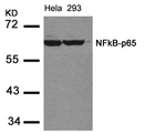 Western blot of extracts from HeLa and 293 cells using NFkB-p65(Ab-536) antibody.