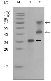 RET Antibody - Western blot using RET mouse monoclonal antibody against truncated RET recombinant protein (1) and RET (aa658-1063)-hIgGFc transfected CHO-K1 cell lysate (2).