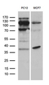 Western blot analysis of extracts. (35ug) from 2 different cell lines by using anti-REV1 monoclonal antibody. (1:500)