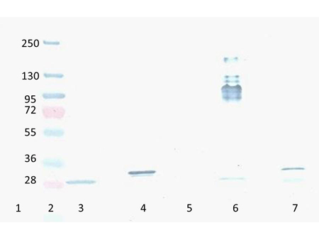 RFP / Red Fluorescent Protein Antibody - Western Blot of Mouse Anti-RFP antibody. Lane 1: YFP protein. Lane 2: Prestained Molecular Weight Marker. Lane 3: Reduced RFP control Protein. Lane 4: Reduced mCherry. Lane 5: GFP protein. Lane 6: Non-Reduced RFP control Protein. Lane 7: Non-Reduced mCherry. Load: 300ng per lane. Primary antibody: RFP antibody at 1:2000 in MB-070 for 3 hours at RT. Secondary antibody: HRP anti-Mouse secondary antibody at 1:10,000 in MB-070 for 60 min at RT. Substrate: TMBM-100 for 20 min. Predicted/Observed size: ~27 kDa.