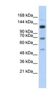 RFX / RFX1 Antibody - RFX1 antibody Western blot of Transfected 293T cell lysate. This image was taken for the unconjugated form of this product. Other forms have not been tested.