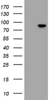 RFX3 Antibody - HEK293T cells were transfected with the pCMV6-ENTRY control (Left lane) or pCMV6-ENTRY RFX3 (Right lane) cDNA for 48 hrs and lysed. Equivalent amounts of cell lysates (5 ug per lane) were separated by SDS-PAGE and immunoblotted with anti-RFX3.