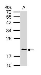 RGS13 Antibody - Sample (30 ug of whole cell lysate). A: Raji. 12% SDS PAGE. RGS13 antibody diluted at 1:1000.