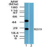 Western blot of RGS19 in mouse placenta lysate in the 1) absence and 2) presence of immunizing peptide using RGS19 Antibody  at 1.0 ug/ml.