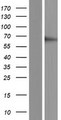 RGS3 Protein - Western validation with an anti-DDK antibody * L: Control HEK293 lysate R: Over-expression lysate