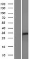 RHBDL2 / RRP2 Protein - Western validation with an anti-DDK antibody * L: Control HEK293 lysate R: Over-expression lysate
