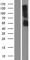 RHBG Protein - Western validation with an anti-DDK antibody * L: Control HEK293 lysate R: Over-expression lysate