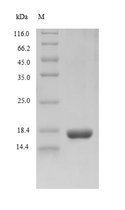 gB Protein - (Tris-Glycine gel) Discontinuous SDS-PAGE (reduced) with 5% enrichment gel and 15% separation gel.