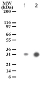 Detection of cleaved ROCK-1 in apoptotic Jurkat cell lysates (10 µg/lane). Lane 1. Jurkat cells were treated with camptothecin. Lane 2. Jurkat cells were treated with anti-Fas antibody (10 ng/ml for 2 hrs). antibody was used at a concentration of 1 ug/ml.