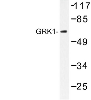 Western blot of GRK1 (A17) pAb in extracts from HUVEC cells.