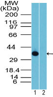 Rhox10 Antibody - Western blot of Rhox-10 in 12 day mouse testis in the 1) absence and 2) presence of immunizing peptide using Polyclonal Antibody to Rhox-10 at 1:2000. Goat anti-rabbit Ig HRP secondary antibody, and PicoTect ECL substrate solution, were used for this test.