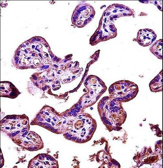 RIPK2 Antibody immunohistochemistry of formalin-fixed and paraffin-embedded human placenta tissue followed by peroxidase-conjugated secondary antibody and DAB staining.