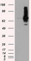 HEK293T cells were transfected with the pCMV6-ENTRY control (Left lane) or pCMV6-ENTRY RALBP1 (Right lane) cDNA for 48 hrs and lysed. Equivalent amounts of cell lysates (5 ug per lane) were separated by SDS-PAGE and immunoblotted with anti-RALBP1.