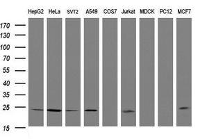 RIT2 / RIN Antibody - Western blot of extracts (35 ug) from 9 different cell lines by using g anti-RIT2 monoclonal antibody (HepG2: human; HeLa: human; SVT2: mouse; A549: human; COS7: monkey; Jurkat: human; MDCK: canine; PC12: rat; MCF7: human).