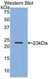 Western blot of recombinant RLN2 / Relaxin 2.  This image was taken for the unconjugated form of this product. Other forms have not been tested.