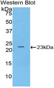 RNASE10 Antibody - Western blot of recombinant RNASE10.  This image was taken for the unconjugated form of this product. Other forms have not been tested.