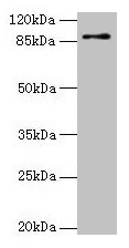 Western blot All lanes: RNF10 antibody at 4µg/ml + Mouse brain tissue Secondary Goat polyclonal to rabbit IgG at 1/10000 dilution Predicted band size: 90, 91 kDa Observed band size: 90 kDa