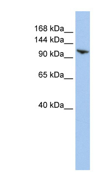 RNF20 antibody LS-C102016 Western blot of HepG2 cell lysate.  This image was taken for the unconjugated form of this product. Other forms have not been tested.