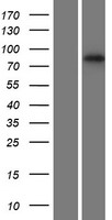 RNF43 Protein - Western validation with an anti-DDK antibody * L: Control HEK293 lysate R: Over-expression lysate