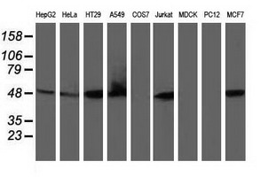 RNH1 Antibody - Western blot of extracts (35 ug) from 9 different cell lines by using anti-RNH1 monoclonal antibody.