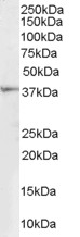 Antibody (1 ug/ml) staining of Human Kidney lysate (35 ug protein in RIPA buffer). Primary incubation was 1 hour. Detected by chemiluminescence.