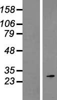 ROPN1 / Ropporin Protein - Western validation with an anti-DDK antibody * L: Control HEK293 lysate R: Over-expression lysate