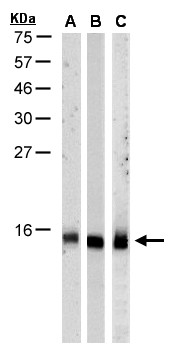 Sample (30 ug of whole cell lysate). A: HeLa S3 , B: Hep G2, C: MOLT4. 15% SDS PAGE. RPA3 antibody diluted at 1:1000