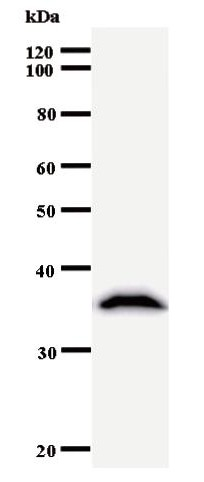 Western blot of immunized recombinant protein using RPA1 antibody.