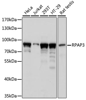 RPAP3 / FLJ21908 Antibody - Western blot analysis of extracts of various cell lines, using RPAP3 antibody at 1:1000 dilution. The secondary antibody used was an HRP Goat Anti-Rabbit IgG (H+L) at 1:10000 dilution. Lysates were loaded 25ug per lane and 3% nonfat dry milk in TBST was used for blocking. An ECL Kit was used for detection and the exposure time was 1s.