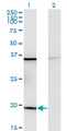 Western Blot analysis of RPL17 expression in transfected 293T cell line by RPL17 monoclonal antibody (M01), clone 3G11.Lane 1: RPL17 transfected lysate(21.4 KDa).Lane 2: Non-transfected lysate.