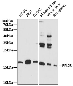 RPL28 / Ribosomal Protein L28 Antibody - Western blot analysis of extracts of various cell lines, using RPL28 antibody at 1:1000 dilution. The secondary antibody used was an HRP Goat Anti-Rabbit IgG (H+L) at 1:10000 dilution. Lysates were loaded 25ug per lane and 3% nonfat dry milk in TBST was used for blocking. An ECL Kit was used for detection and the exposure time was 60s.