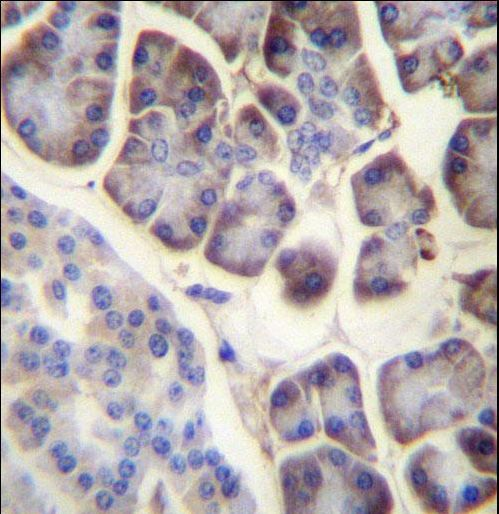 RPL34 / Ribosomal Protein L34 Antibody - RPL34 Antibody immunohistochemistry of formalin-fixed and paraffin-embedded human pancreas tissue followed by peroxidase-conjugated secondary antibody and DAB staining.