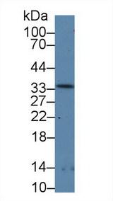 RPP40 / Ribonuclease P Antibody - Western Blot; Sample: Rat Stomach lysate; Primary Ab: 5µg/ml Rabbit Anti-Rat RNASEP Antibody Second Ab: 0.2µg/mLHRP-Linked Caprine Anti-Rabbit IgG Polyclonal Antibody