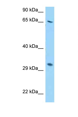RPS2 antibody Western blot of HepG2 Cell lysate. Antibody concentration 1 ug/ml.  This image was taken for the unconjugated form of this product. Other forms have not been tested.