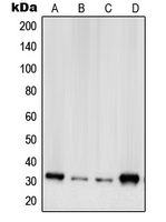 Western blot analysis of RPS2 expression in A431 (A); HeLa (B); HEK293 (C); NIH3T3 (D) whole cell lysates.
