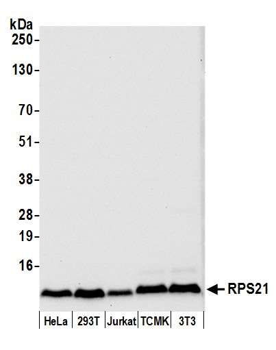 Detection of human and mouse RPS21 by western blot. Samples: Whole cell lysate (50 µg) from HeLa, HEK293T, Jurkat, mouse TCMK-1, and mouse NIH 3T3 cells prepared using NETN lysis buffer. Antibody: Affinity purified rabbit anti-RPS21 antibody used for WB at 0.04 µg/ml. Detection: Chemiluminescence with an exposure time of 10 seconds.