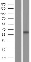 RPUSD3 Protein - Western validation with an anti-DDK antibody * L: Control HEK293 lysate R: Over-expression lysate