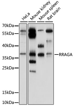 RRAGA Antibody - Western blot analysis of extracts of various cell lines, using RRAGA antibody at 1:1000 dilution. The secondary antibody used was an HRP Goat Anti-Rabbit IgG (H+L) at 1:10000 dilution. Lysates were loaded 25ug per lane and 3% nonfat dry milk in TBST was used for blocking. An ECL Kit was used for detection and the exposure time was 30s.
