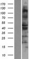 RSAD1 Protein - Western validation with an anti-DDK antibody * L: Control HEK293 lysate R: Over-expression lysate