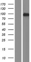 RSBN1 Protein - Western validation with an anti-DDK antibody * L: Control HEK293 lysate R: Over-expression lysate