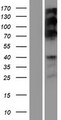 RSF1 / RSF-1 Protein - Western validation with an anti-DDK antibody * L: Control HEK293 lysate R: Over-expression lysate