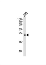 Western blot of lysate from 293 cell line, using RSPO2 Antibody. Antibody was diluted at 1:1000 at each lane. A goat anti-rabbit IgG H&L (HRP) at 1:5000 dilution was used as the secondary antibody. Lysate at 35ug per lane.