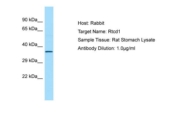 RTCD1 / RPC Antibody -  This image was taken for the unconjugated form of this product. Other forms have not been tested.