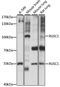 RUSC1 Antibody - Western blot analysis of extracts of various cell lines, using RUSC1 antibody at 1:1000 dilution. The secondary antibody used was an HRP Goat Anti-Rabbit IgG (H+L) at 1:10000 dilution. Lysates were loaded 25ug per lane and 3% nonfat dry milk in TBST was used for blocking. An ECL Kit was used for detection and the exposure time was 10s.