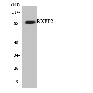 Western blot analysis of the lysates from HUVECcells using RXFP2 antibody.