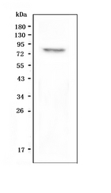 Western blot analysis of GPCR LGR8 using anti-GPCR LGR8 antibody. Electrophoresis was performed on a 5-20% SDS-PAGE gel at 70V (Stacking gel) / 90V (Resolving gel) for 2-3 hours. The sample well of each lane was loaded with 50ug of sample under reducing conditions. Lane 1: human SHG-44 whole cell lysate. After Electrophoresis, proteins were transferred to a Nitrocellulose membrane at 150mA for 50-90 minutes. Blocked the membrane with 5% Non-fat Milk/ TBS for 1.5 hour at RT. The membrane was incubated with rabbit anti-GPCR LGR8 antigen affinity purified polyclonal antibody at 0.5 µg/mL overnight at 4°C, then washed with TBS-0.1% Tween 3 times with 5 minutes each and probed with a goat anti-rabbit IgG-HRP secondary antibody at a dilution of 1:10000 for 1.5 hour at RT. The signal is developed using an Enhanced Chemiluminescent detection (ECL) kit with Tanon 5200 system. A specific band was detected for GPCR LGR8 at approximately 86KD. The expected band size for GPCR LGR8 is at 86KD.