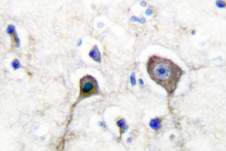 IHC of S100 A1 (A18) pAb in paraffin-embedded human brain tissue.