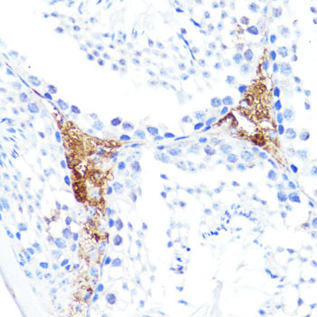 S100A10 Antibody - Immunohistochemistry of paraffin-embedded mouse leydig cells using S100A10 antibody at dilution of 1:100 (40x lens).
