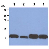 S100A4 / FSP1 Antibody - The Cell lysates (40ug) were resolved by SDS-PAGE, transferred to PVDF membrane and probed with anti-human S100A4 antibody (1:1000). Proteins were visualized using a goat anti-mouse secondary antibody conjugated to HRP and an ECL detection system. Lane 1. : HeLa cell lysate Lane 2. : A549 cell lysate Lane 3. : NIH/3T3 cell lysate Lane 4. : 3T3-L1 cell lysate